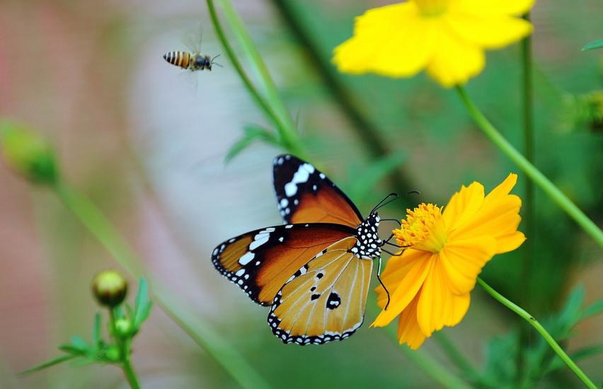 蝴蝶采食花蜜
