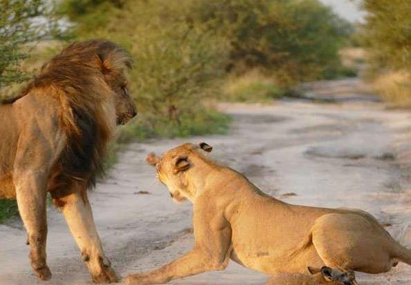 雄狮攻击受伤狐狸 母狮挺身怒吼保护小狐
