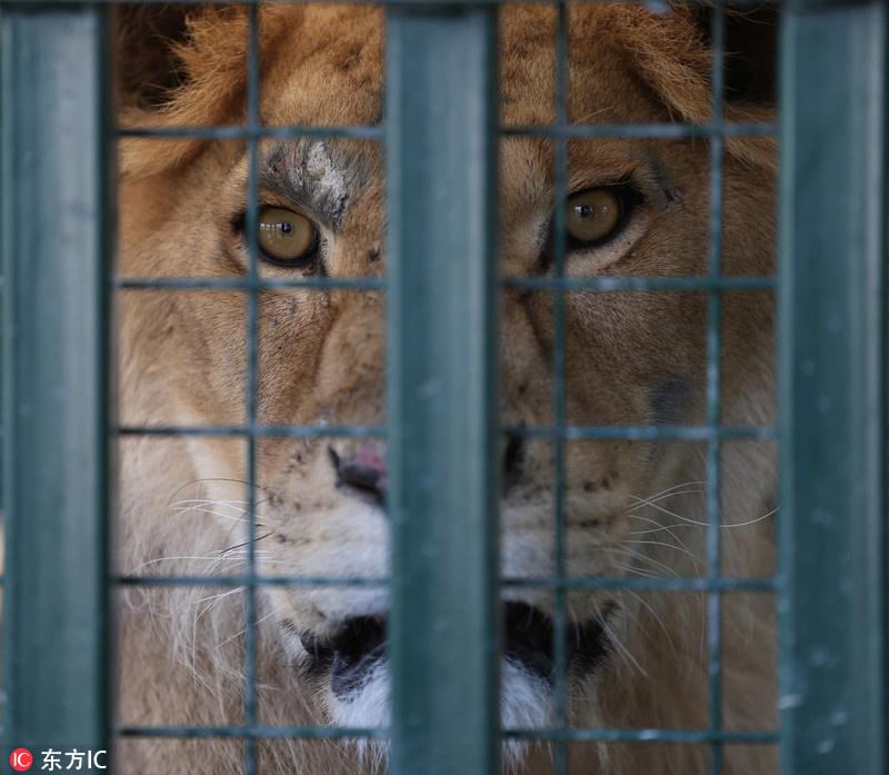 """叙动物园因战火遭弃 土耳其接收""""动物难民"""""""
