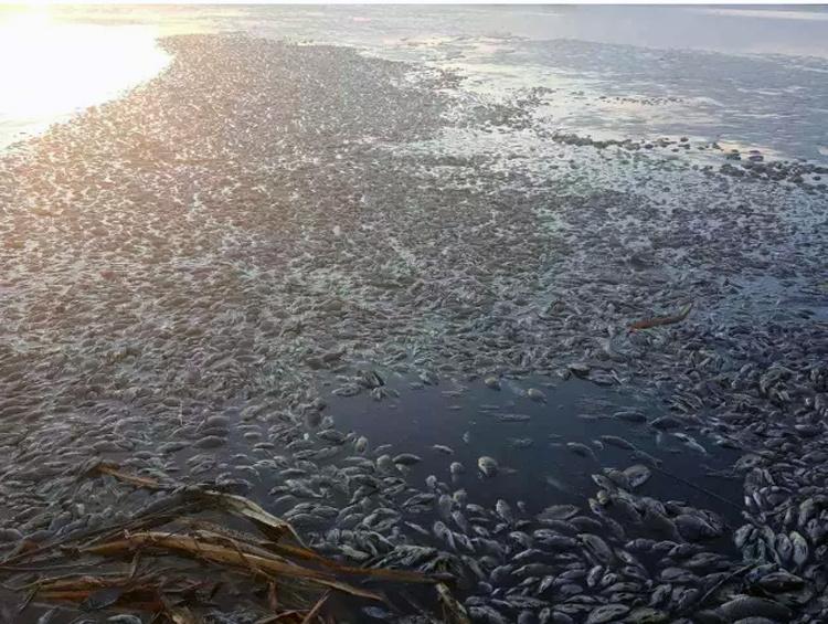 内蒙古呼伦贝尔河水污染 漂浮大量死鱼