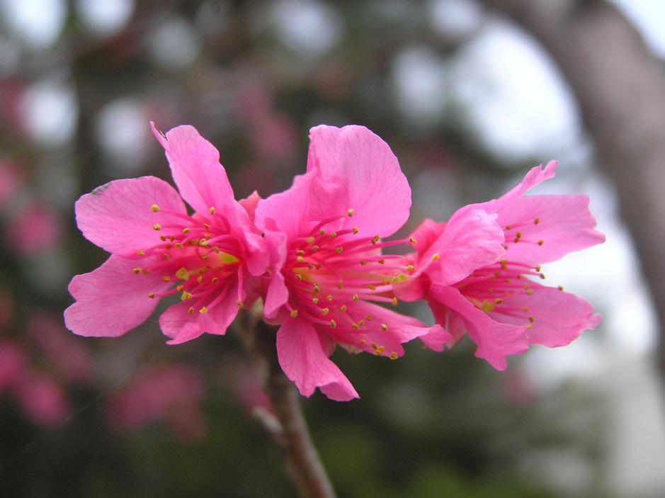 品种繁多的樱花树