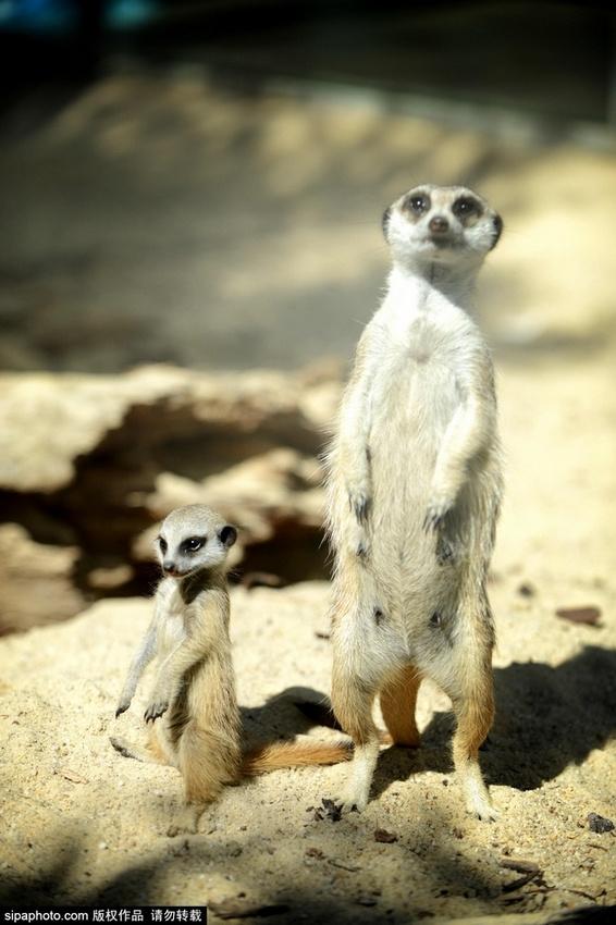 华勒比野生动物园迎来2位新成员,一只狐猴妈妈生下了两只可爱的小幼崽