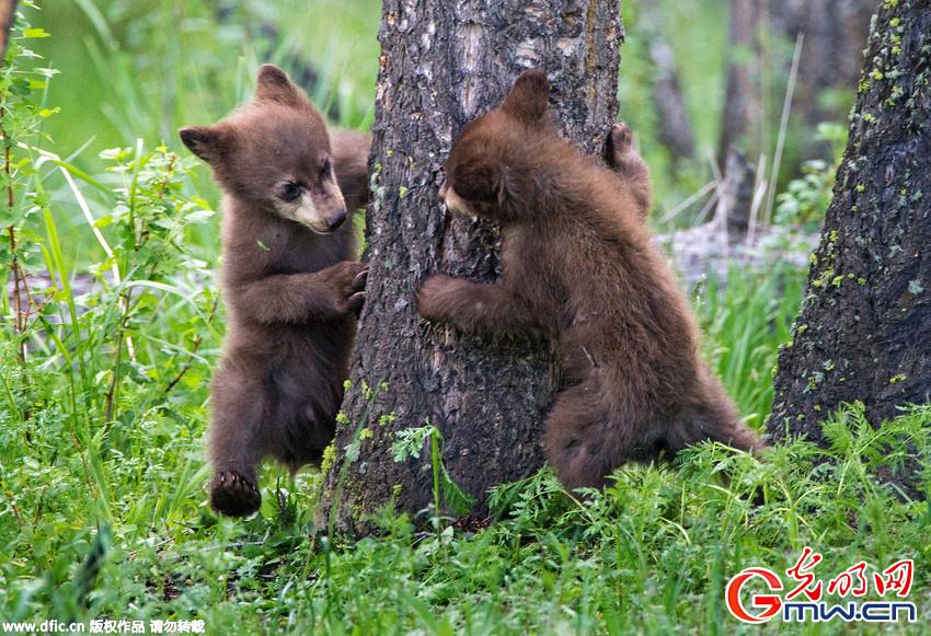 逗趣:两只小熊树下玩躲猫猫 看到这些可爱的小熊