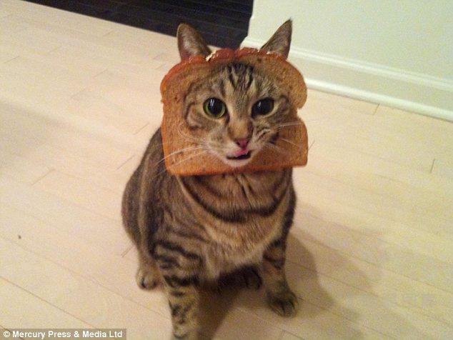据英国《每日邮报》5月10日报道,近日,有网友给自家的宠物猫戴上面包片,并拍摄了一组十分滑稽可爱的照片。这让世界各地的宠物爱好者们也纷纷在名为面包猫的网站上晒出自己家的宠物。   在照片中,面包片穿过猫咪的头部,看起来颇为搞笑可爱。当日,这组图片在脸谱上就引来很多网友的好评,下载率也很高。这位网友还给宠物爱好者们提供了打造面包猫的使用教程。宠物主人先要在面包片上切一个洞,这个洞要刚好比猫的头部大一英寸(约2.