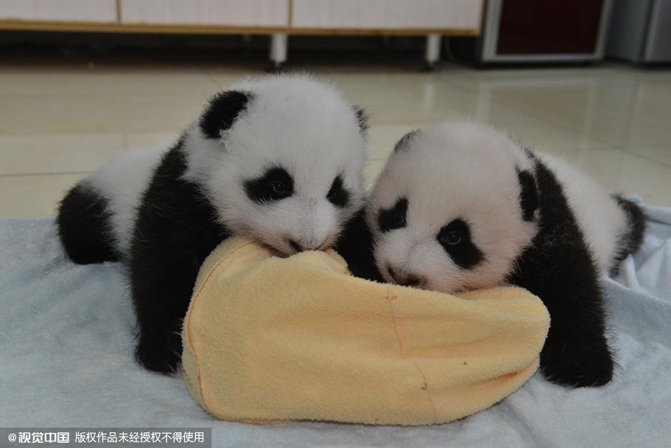 萌的赤裸裸 四川阿坝新生熊猫宝宝亮相