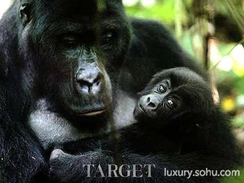奢侈品频道 旅行  大猩猩是动物世界中智商最高,最具社会组织能力的