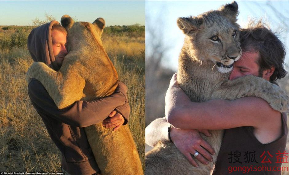 热情相拥:在南部非洲博茨瓦纳广袤的丛林深处,一头取名西尔加的母狮同两名男性生态保护者古伦纳和里贾斯热情相拥。这一幕的出现足以温暖任何狂野心。一狮两人,三者之间何以建立起如此令人吃惊的亲密关系呢。CATERS NEWS的摄影师近距离捕捉到了这些精彩瞬间。