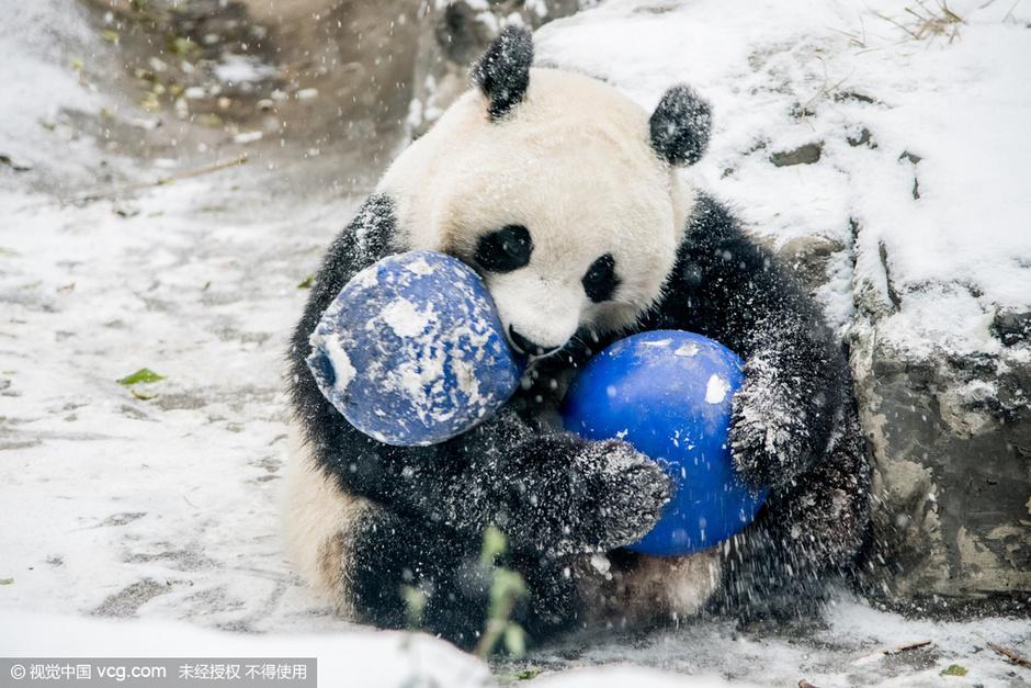 北京动物园大熊猫雪地里打滚萌翻众人