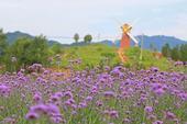 2016年6月25日河南平顶山尧山花海举办花海节6月25日在河南平顶山尧山花海拍摄的盛开的鲜花。当日...