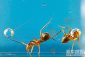 微距摄影:蚂蚁