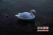摄影家王亚明——天鹅摄影作品《千姿黑与白》