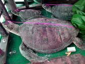 菲公布中国被扣渔船死海龟照