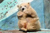2019-08-22报道(具体拍摄时间不详),俄罗斯新西伯利亚动物园里的一头小北极熊老是喜欢把玩自己...