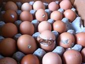 """青岛新闻网8月12日讯 昨天下午,据网友""""虎子""""爆料,因为近期青岛天气太热,他朋友家的两箱毛鸡蛋,孵..."""
