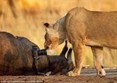中新网1月18日电 据外媒17日报道,美国一名摄影师来到津巴布韦的大草原拍摄野生动物,当他试图通过...