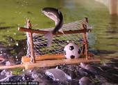 高清图:鲻鱼跃龙门! 英球迷承包鱼塘办欧洲杯