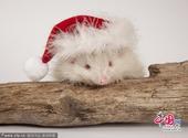 白化刺猬俏皮迎圣诞节