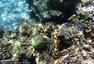 菲律宾珊瑚白化威胁升级 生态面临挑战