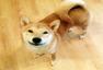 一条特立独行的狗 模仿主人坐着看视频