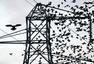 英数万候鸟迁徙 栖息高压线致断电
